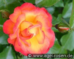 Bonanza (Shrub Rose)