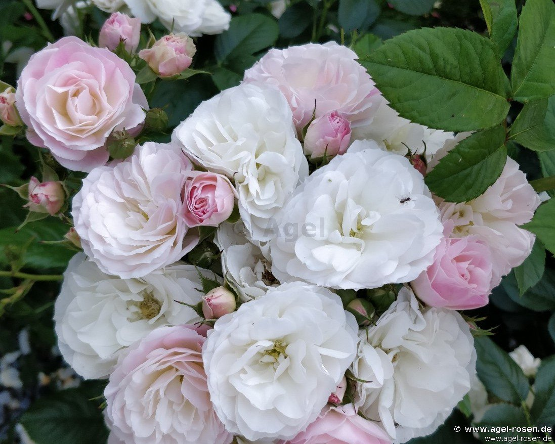 bouquet parfait shrub rose buy at agel rosen. Black Bedroom Furniture Sets. Home Design Ideas