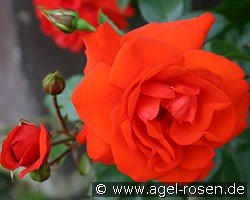 Brillant (Shrub Rose)