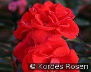 Brillant Korsar (Shrub Rose)