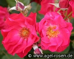Burghausen 91 (Shrub Rose)