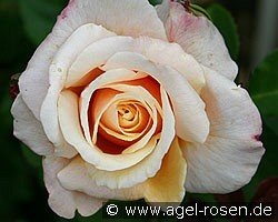 Caramella (Shrub Rose)