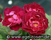 Cardinal Hume (Shrub Rose)