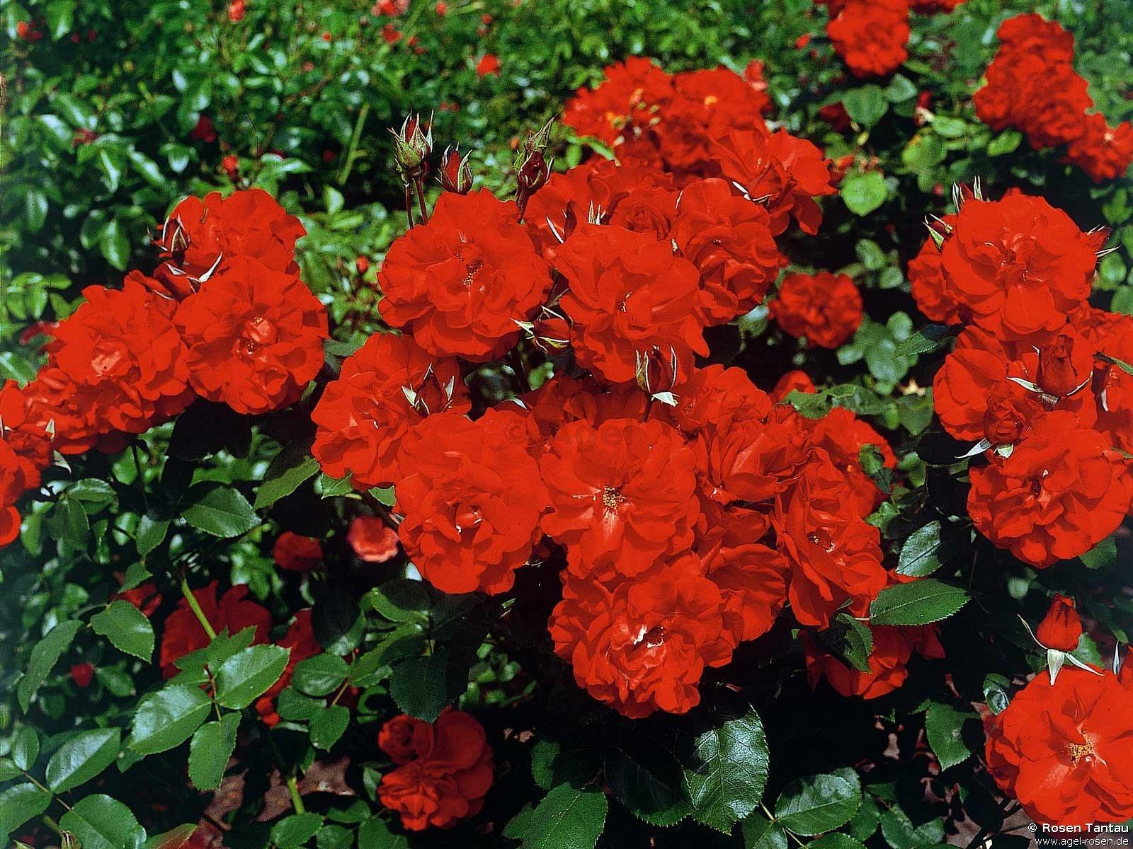 Castella – Shrub Rose – at AGEL ROSEN