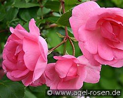 Centennaire de Lourdes rose (Shrub Rose)