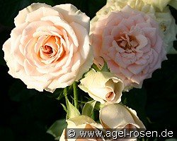 Champagnerperle (Shrub Rose)