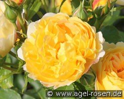 Chateau de Cheverny (Shrub Rose)