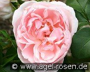 Cinderella (Shrub Rose)