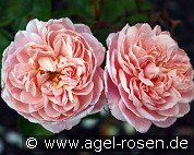 Colette (Shrub Rose)
