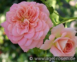 Concerto 94 (Shrub Rose)