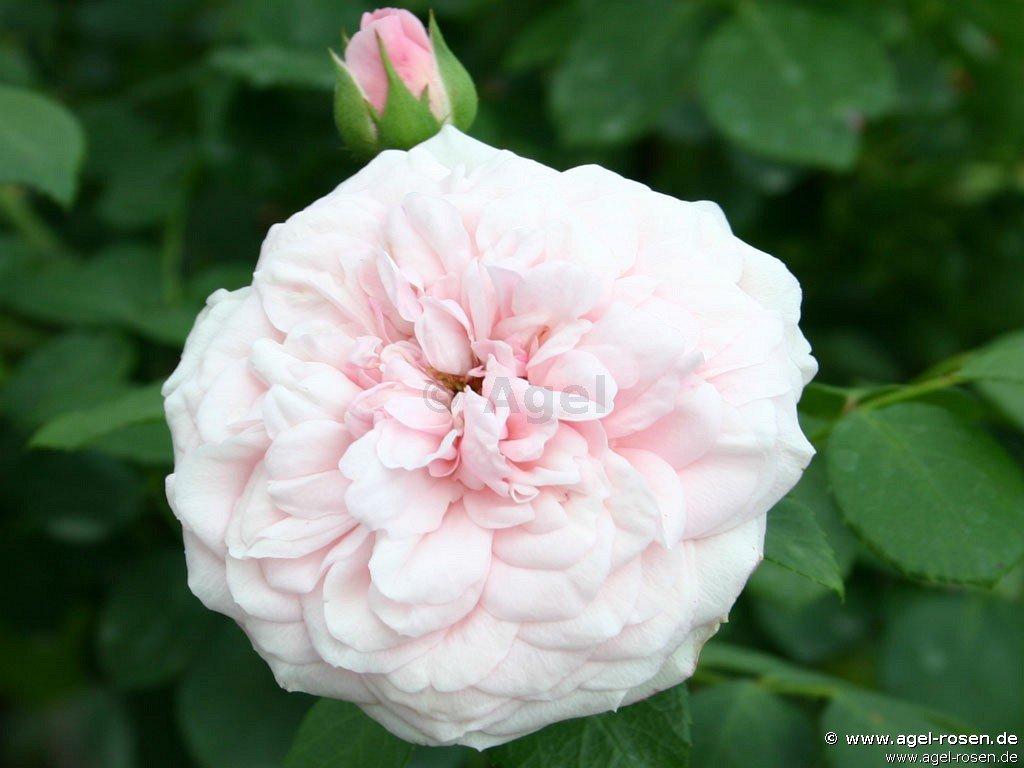 die sch ne t lzerin shrub rose buy at agel rosen. Black Bedroom Furniture Sets. Home Design Ideas
