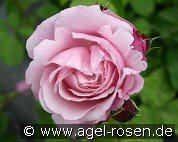 Dieter Müller (Shrub Rose)
