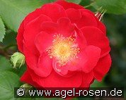 Dirigent (Shrub Rose)