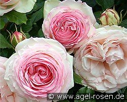 Eden Rose 85 (Shrub Rose)