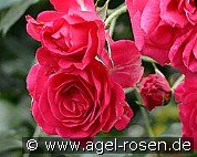 Elmshorn (Shrub Rose)