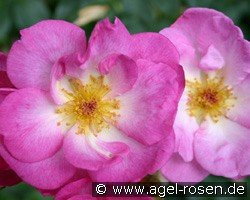 Escapade (Shrub Rose)