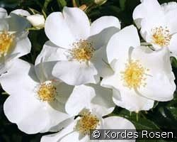 Escimo (Shrub Rose)