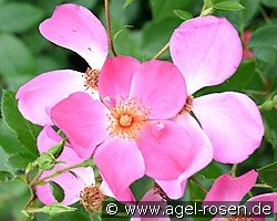 Felicitas (Shrub Rose)