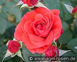 Feuerfunken (Shrub Rose)