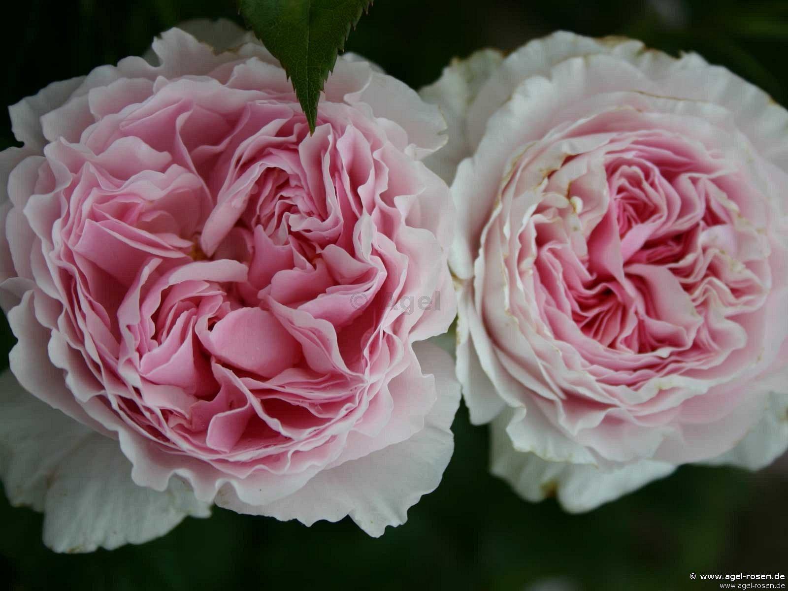 gartentr ume shrub rose buy at agel rosen. Black Bedroom Furniture Sets. Home Design Ideas