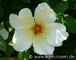 Golden Wings (Shrub Rose)