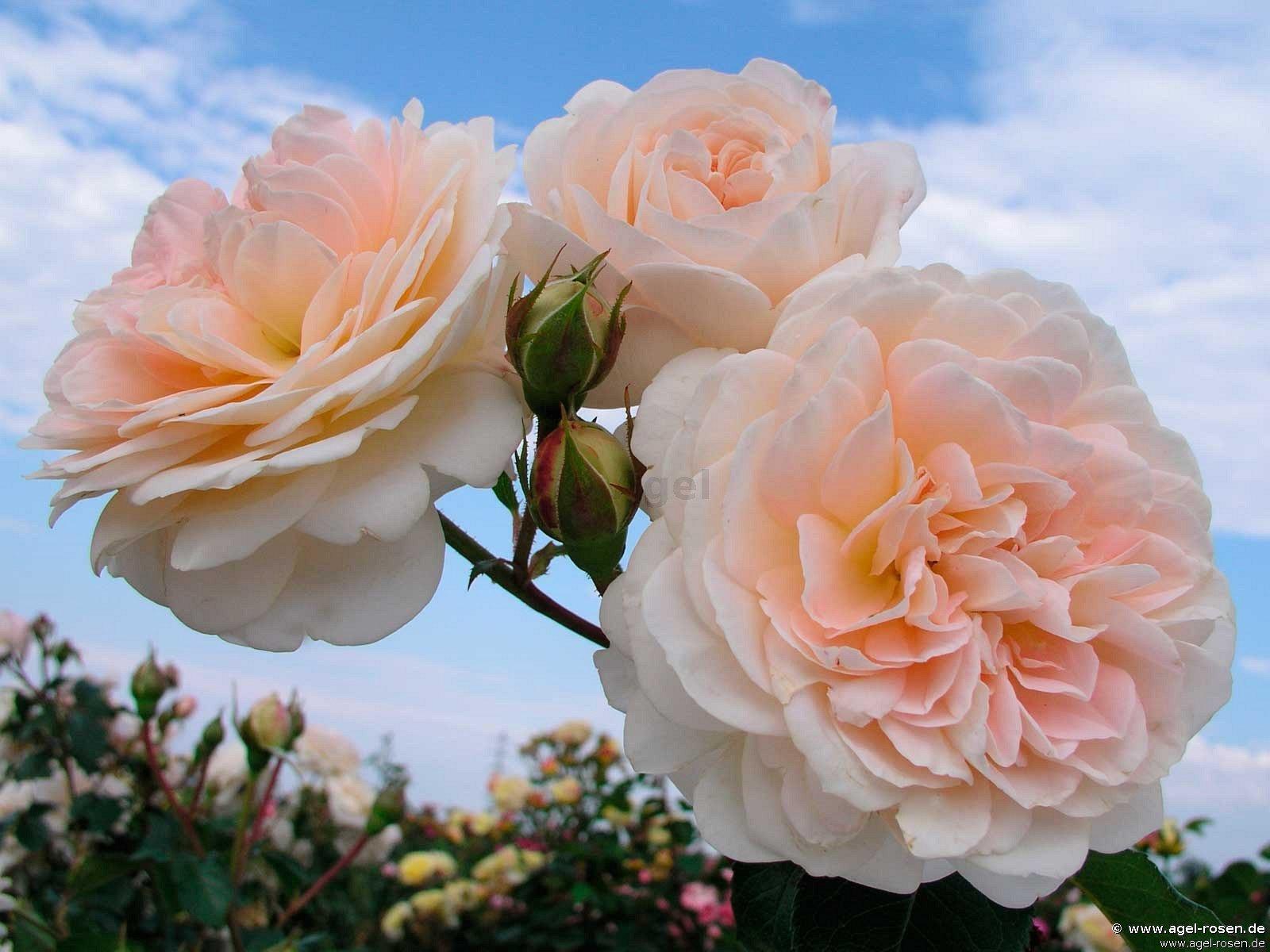 Jardin de l 39 essonne shrub rose buy at agel rosen for Jardin roses