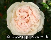 Julia Renaissance (Shrub Rose)