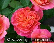 La Passionata (Shrub Rose)