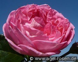 La Rose de Molinard (Shrub Rose)