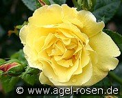 Lichtkönigin Lucia (Shrub Rose)