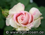 Malerrose 'Claude Monet' (Shrub Rose)