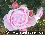 Marlies-Klugow-Rose (Shrub Rose)