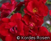 Marondo (Shrub Rose)