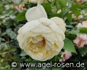 Nina Renaissance (Shrub Rose)