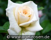 Pauline (Shrub Rose)