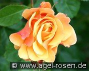 Postillion (Shrub Rose)