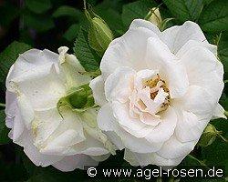ritausma shrub rose buy at agel rosen. Black Bedroom Furniture Sets. Home Design Ideas