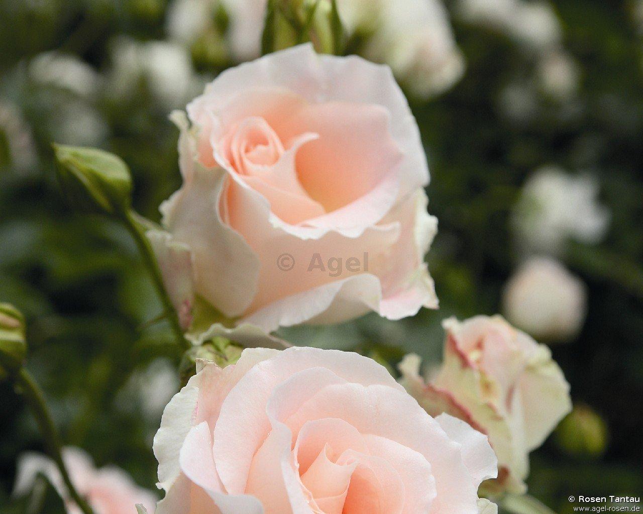 rokoko shrub rose buy at agel rosen. Black Bedroom Furniture Sets. Home Design Ideas
