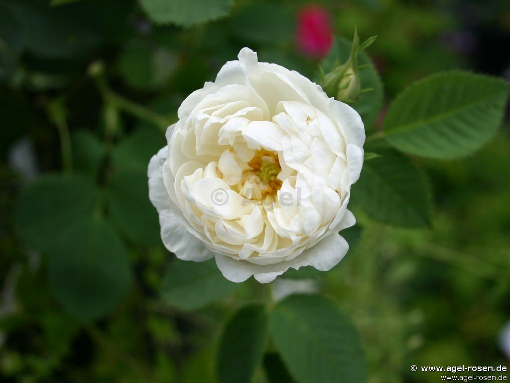 rosa alba suaveolens shrub rose buy at agel rosen. Black Bedroom Furniture Sets. Home Design Ideas