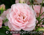 Rosario (Shrub Rose)