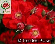 Roter Korsar (Shrub Rose)
