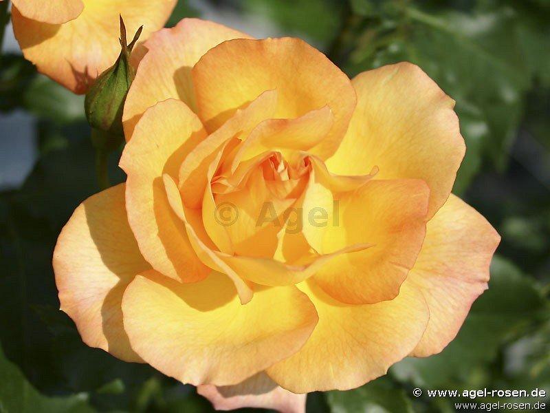 sahara shrub rose buy at agel rosen. Black Bedroom Furniture Sets. Home Design Ideas