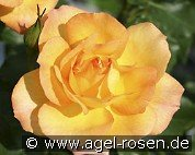 Sahara (Shrub Rose)