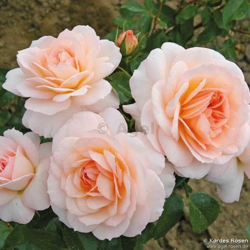 schlo eutin shrub rose buy at agel rosen. Black Bedroom Furniture Sets. Home Design Ideas