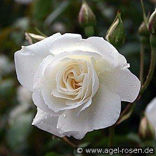 buy rose schneewittchen online at agel rosen tree. Black Bedroom Furniture Sets. Home Design Ideas