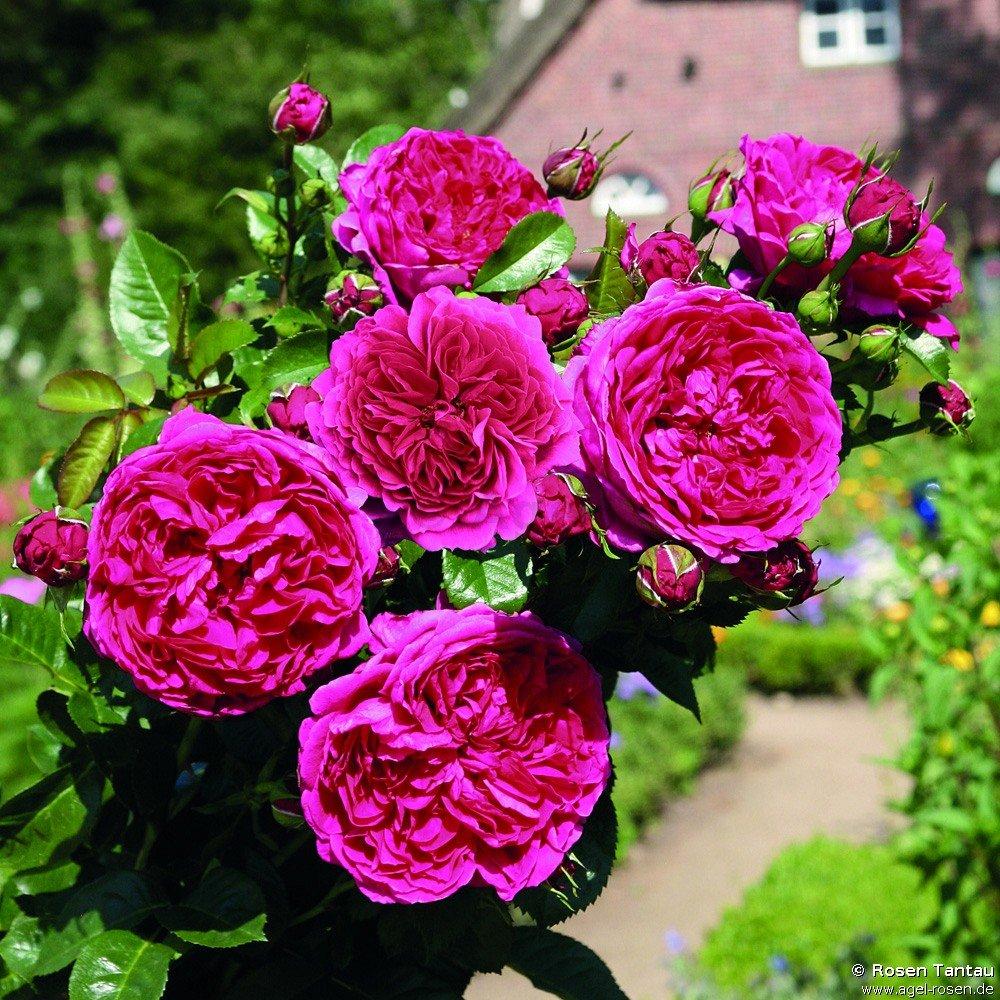 soul shrub rose buy at agel rosen. Black Bedroom Furniture Sets. Home Design Ideas
