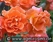 Westerland (Shrub Rose)