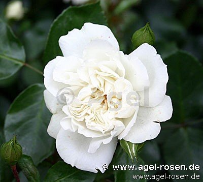 white meidiland shrub rose buy at agel rosen. Black Bedroom Furniture Sets. Home Design Ideas