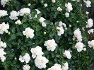 White Meidiland (Shrub Rose)