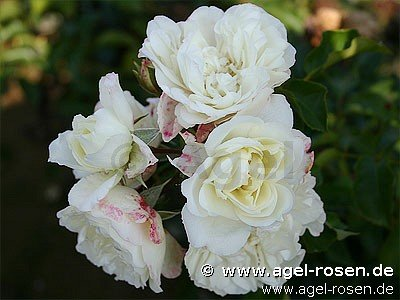 white meidiland shrub rose buy at agel rosen. Black Bedroom Furniture Sets. Home Design Ideas